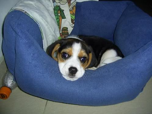 perros-beagle-toby-medellin-1