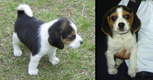 perros-beagle-toby-medellin-2