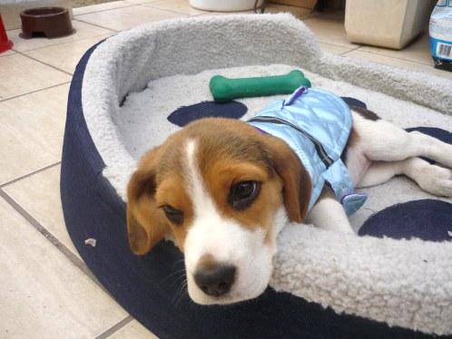 perro Bellota 3 meses