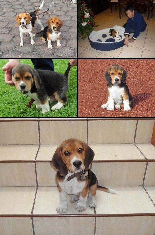 perros_beagle_bellota_dady