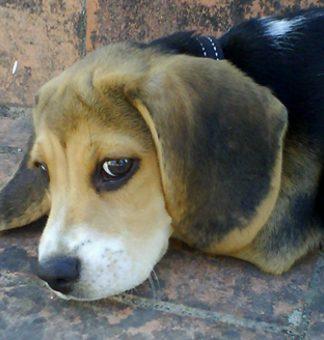 cachorro-perro-beagle-whisky