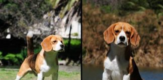 campeon-beagle-eloy_del_focus_alex