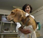 perros-beagle-prueban-vacuna contra el alzheimer