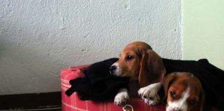 cachorros-beagle-canasto-Billy_Maki