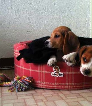 cachorros-beagle-canasto-Billy_Maki