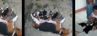 camada-beagle-princesa