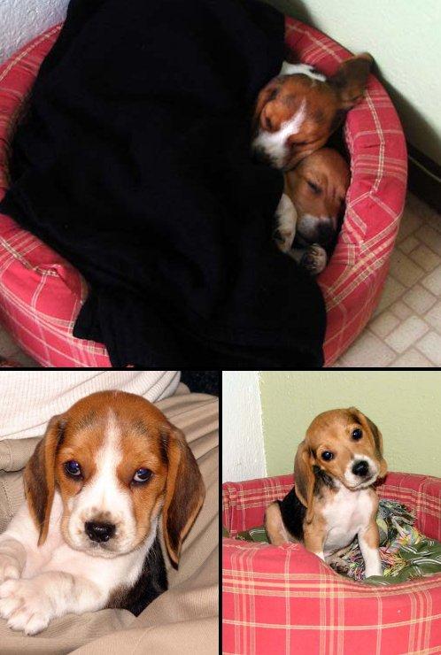 pareja-cachorros-beagle-Billy_Maki