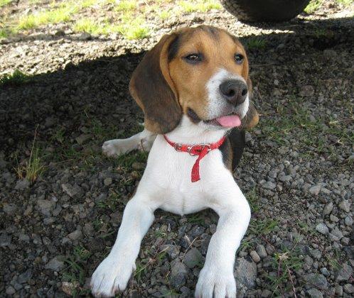 perro-beagle-martin