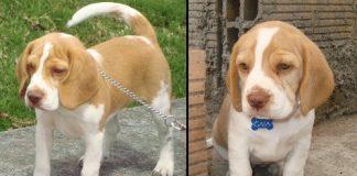 beagle-bicoloar-gaia-colombia