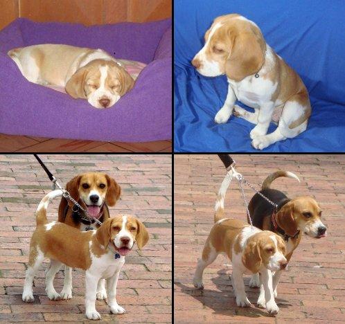 beagles-gaia_y_ambar-colombia