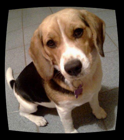 beagle-Theotiste-de frente