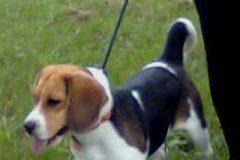 beagle-Theotiste-foto con mama