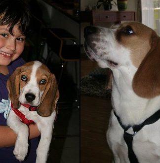 beagle-Jackie-operado-de-cadera