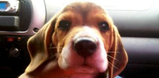 beagle-Sir_Percival-Honduras