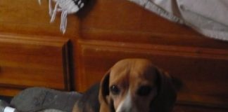 beagle_Mancha_desaparecida_Mexico