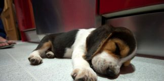 beagle-trasto_dos-meses