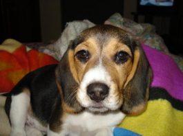 perrita-beagle-Canela-Bogota