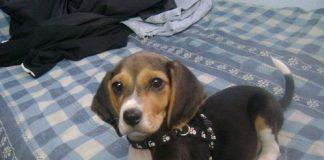 perrita-beagle-ISIS-Bogota-Colombia