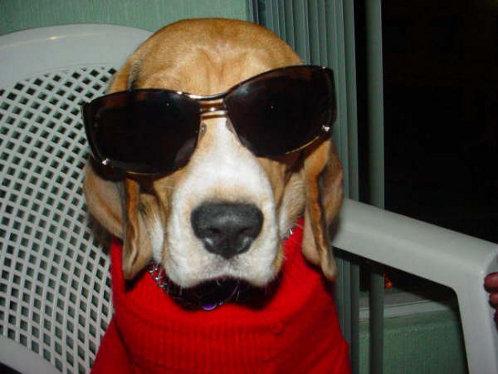 fotos-perro-beagle-Simon-Mexico-DF-1