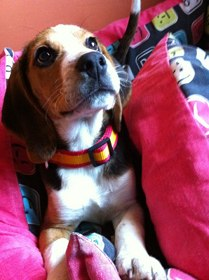 Lana-perrita-beagle