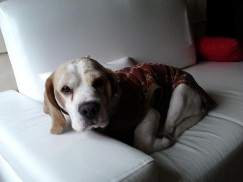 beagle-Body-Lima-Peru-1