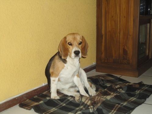 perrita-beagle-Molly-El_Salvador-7