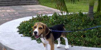 perro-beagle-Dante-de-Venezuela-2