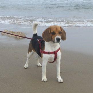 Perrita beagle Jara en la playa