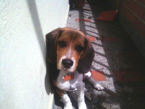 perro-beagle-Yeico-Colombia
