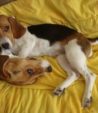 beagles-Zeus-y-Maya-juegan
