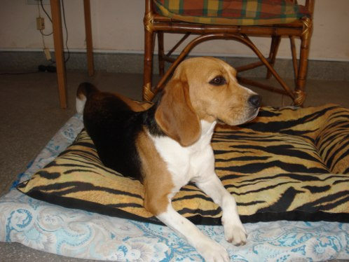 perrita-beagle-Bianca-de-Argentina echada en su manta
