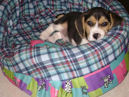 perro-beagle-Foxy-Colombia