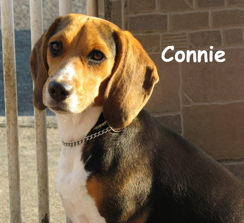 preciosa-perrita-beagle-Connie