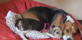 Perritas-beagle-Luna-y-Tandy