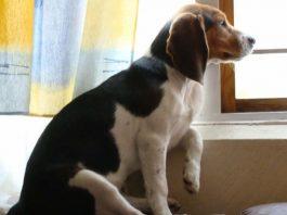 perrita-beagle-Camila-Mexico-sentada junto a la ventana