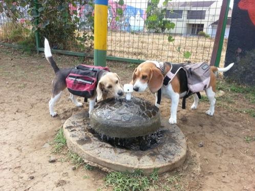 perritas-beagle-beben-agua-fuente