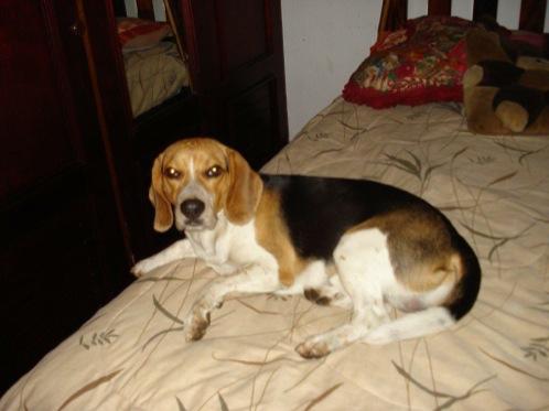perro-beagle-Twister-Costa-Rica