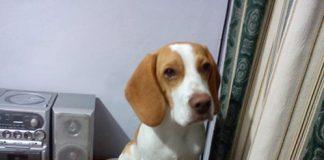 perro-beagle-limon-Terri-Colombia