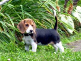 beagle-Dasha-Costa-Rica