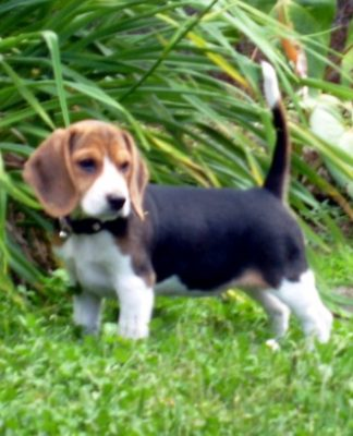 beagle-Dasha-Costa-Rica