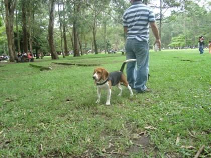 beagle-Malakias-suelto