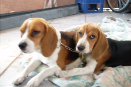 beagles-Dasha-Kiara-Costa-Rica