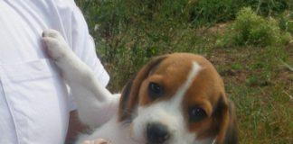 cachorrita-beagle-Kira-Barcelona