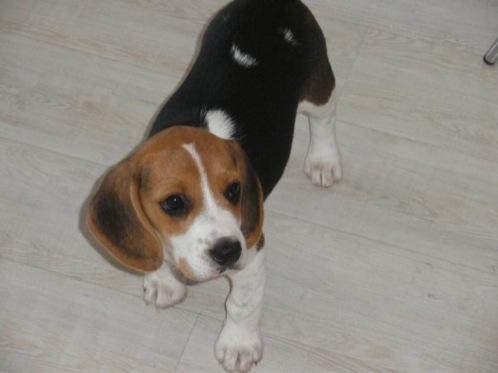 cachorrita-beagle-Kira-de-Barcelona