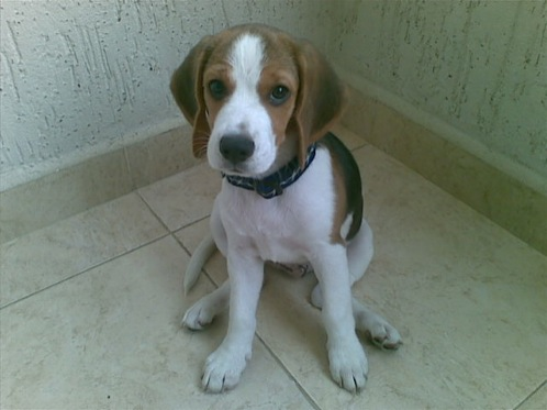 cachorro-beagle-Bambu-con-3-meses
