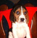 cachorro-beagle-Malakias