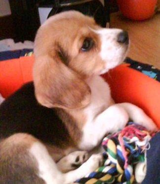 cachorro-beagle-Neo-Colombia-atento en su cuna