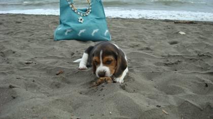 cachorro-beagle-jugando-arena