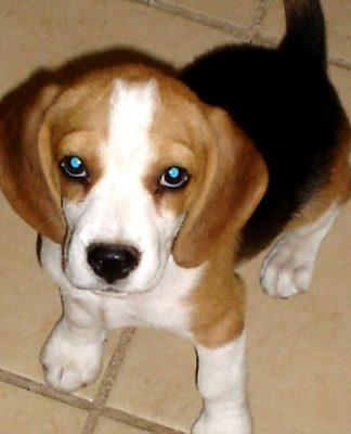 perrita-beagle-RACHEL KAREN GREE