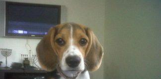 perrita-beagle-BELLA-perdida-Caracas (Venezuela)